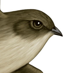 Vaux's Swift Head Illustration