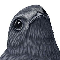 Black Swift Head Illustration