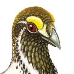 Greater Sage-Grouse Head Illustration
