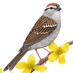 Chipping Sparrow Body Illustration