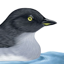 Cassin's Auklet Head Illustration