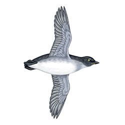 Cassin's Auklet Flight Illustration