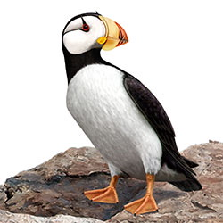 Horned Puffin Body Illustration