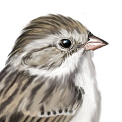 Brewer's Sparrow Head Illustration.jpg