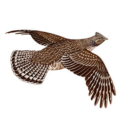 Ruffed Grouse Flight Illustration