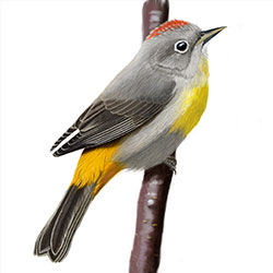 Virginia's Warbler Body Illustration.jpg