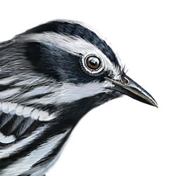 Black-and-white Warbler Head Illustration