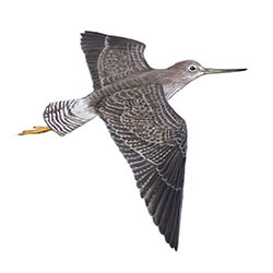 Greater Yellowlegs Flight Illustration