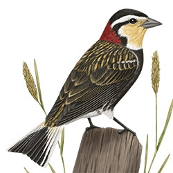 Chesnut-collared Longspur Body Illustration