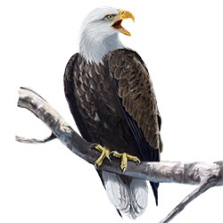 Bald Eagle Body Illustration