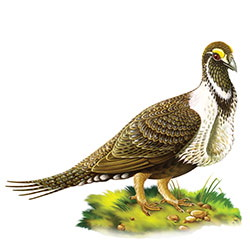 Greater Sage-Grouse Body Illustration