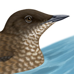 Marbled Murrelet Head Illustration