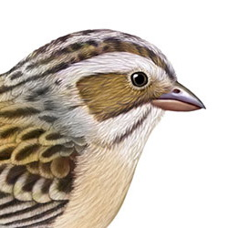 Clay-colored Sparrow Head Illustration