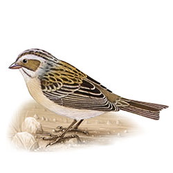 Clay-colored Sparrow Body Illustration