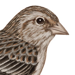Cassin's Sparrow Head Illustration