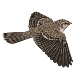 Cassin's Sparrow Flight Illustration