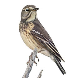 American Pipit Body Illustration