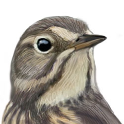American Pipit Head Illustration.jpg