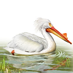 American White Pelican Body Illustration.jpg