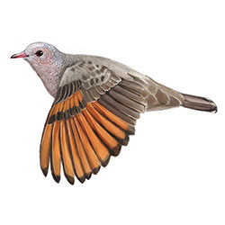 Common Ground Dove Flight Illustration.jpg