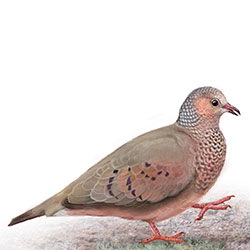 Common Ground Dove Body Illustration.jpg