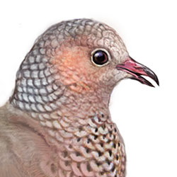 Common Ground Dove Head Illustration.jpg