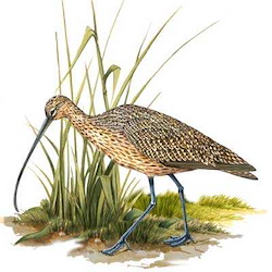 Long-billed Curlew Body Illustration