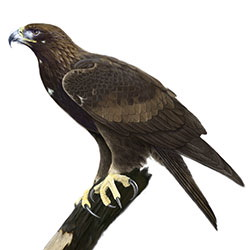 Golden Eagle Body Illustration