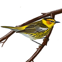 Cape May Warbler Body Illustration