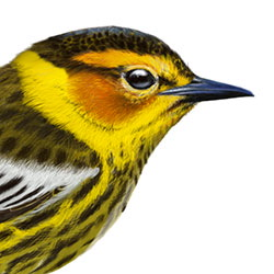 Cape May Warbler Head Illustration