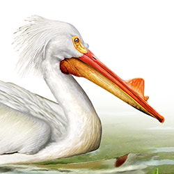 American White Pelican Head Illustration.jpg