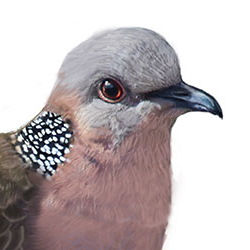Spotted Dove Head Illustration