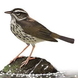 Louisiana Waterthrush Body Illustration.jpg