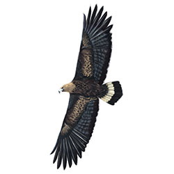 Golden Eagle Flight Illustration