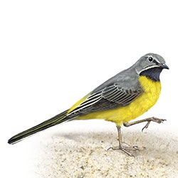 Gray Wagtail Body Illustration
