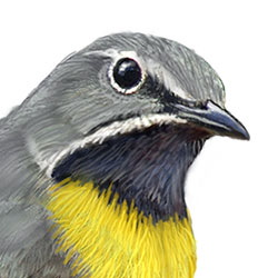 Gray Wagtail Head Illustration