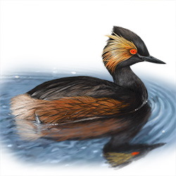 Eared Grebe Body Illustration