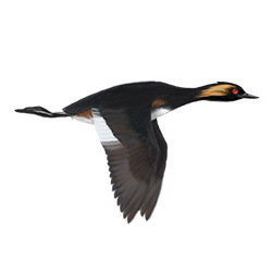 Eared Grebe Flight Illustration