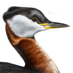 Red-necked Grebe Head Illustration