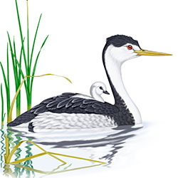 Clark's Grebe Body Illustration