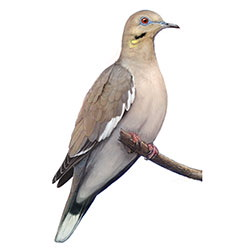 White-winged Dove Body Illustration