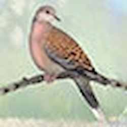 White-winged Dove Head Illustration
