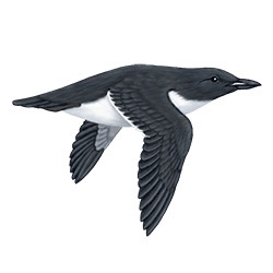 Thick-billed Murre Flight Illustration