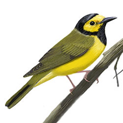 Hooded Warbler Body Illustration