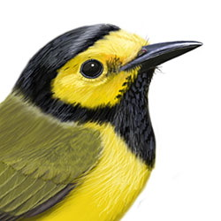 Hooded Warbler Head Illustration