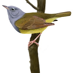 Connecticut Warbler Body Illustration