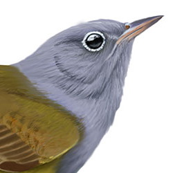 Connecticut Warbler Head Illustration