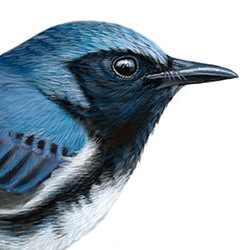 Black-throated Blue Warbler Head Illustration
