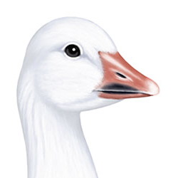 Snow Goose Head Illustration