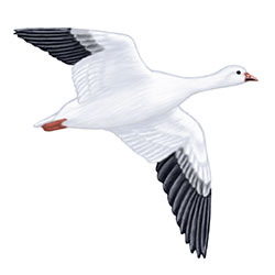 Snow Goose Flight Illustration